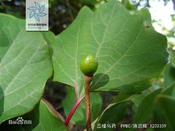 林麝喜食树叶种类之-三桠乌药